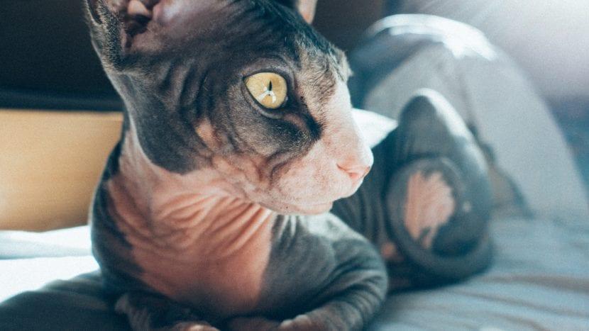 El gatito sphynx es muy travieso
