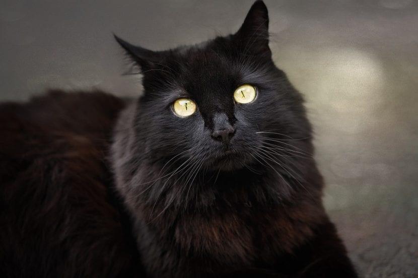 Gato angora de pelo largo