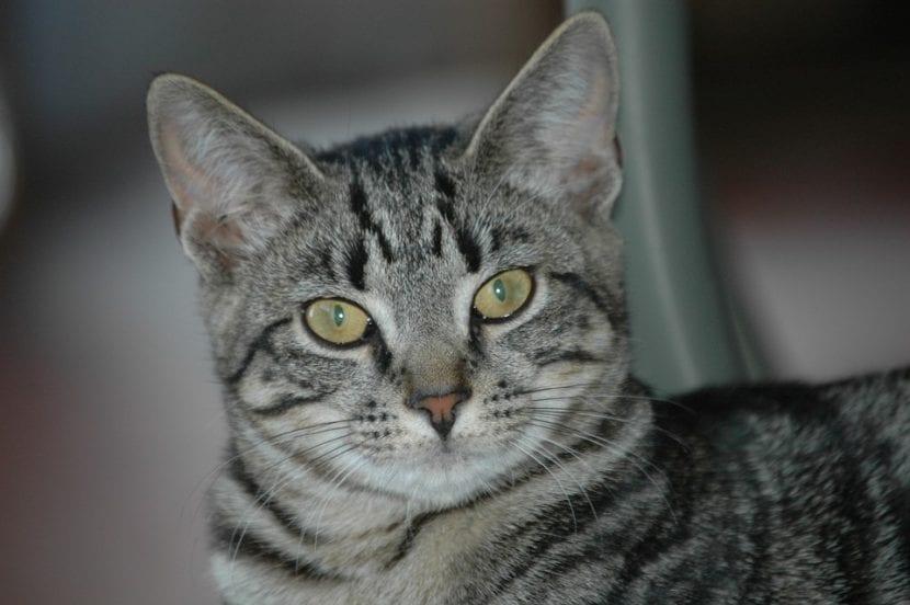 Los gatos bien cuidados no tienen por qué tener costras