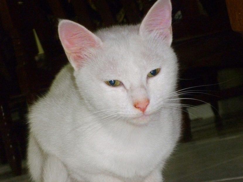 Los gatos blancos son vulnerables al cáncer de células escamosas