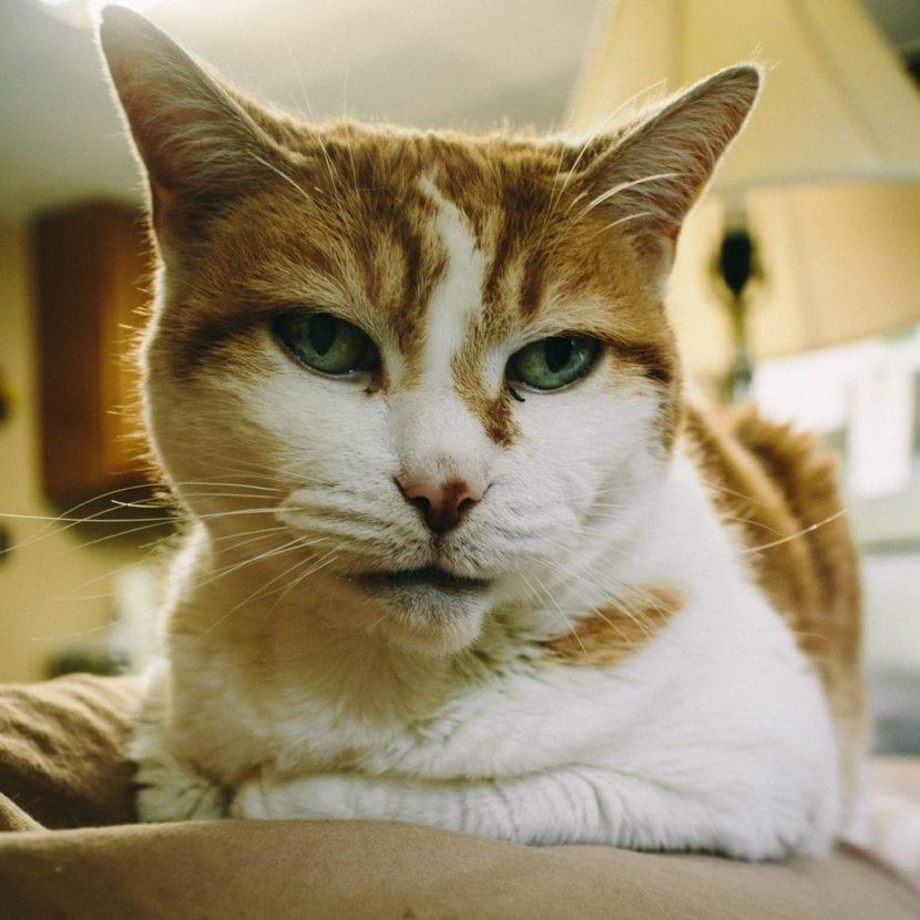 Si el gato tiene costras, hay que llevarlo al veterinario