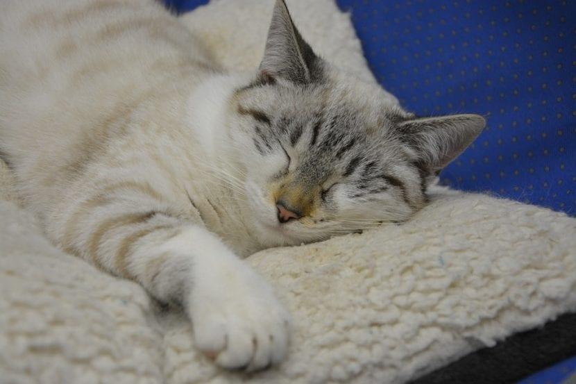 Los gatos pueden acostumbrarse a dormir en su cama