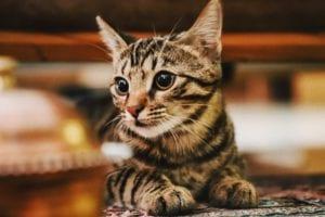 Los parásitos internos son frecuentes en gatos