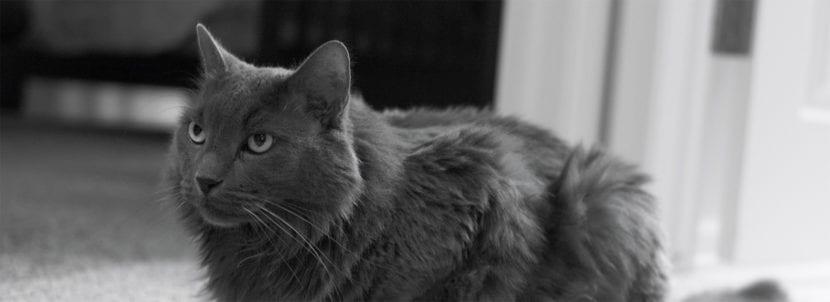 El Nebelung es un gato de tamaño mediano