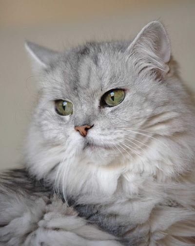 Gato persa chinchilla de pelo gris