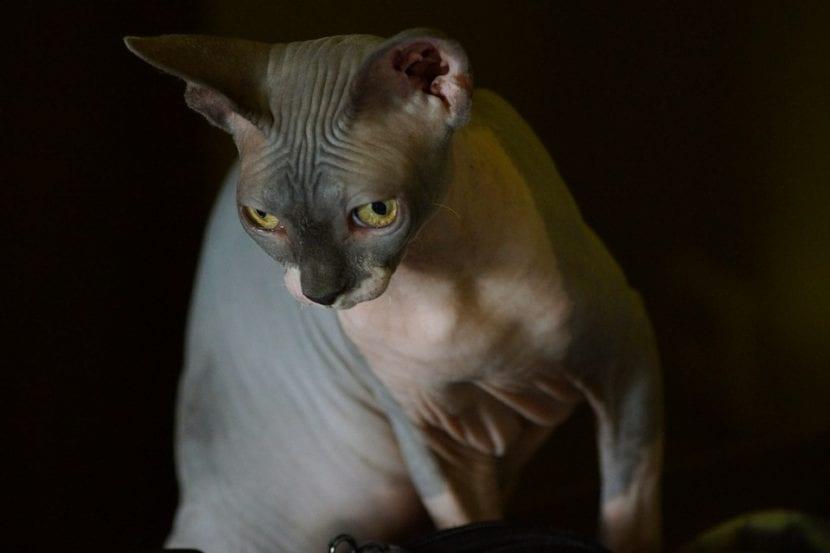 El Sphynx es una raza de gato sin pelo