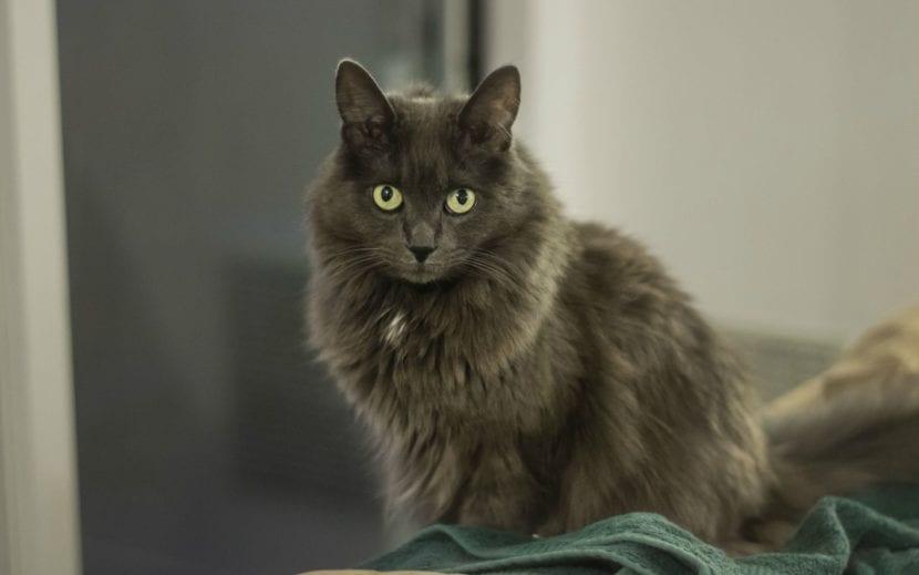 Vista del gato Nebelung adulto