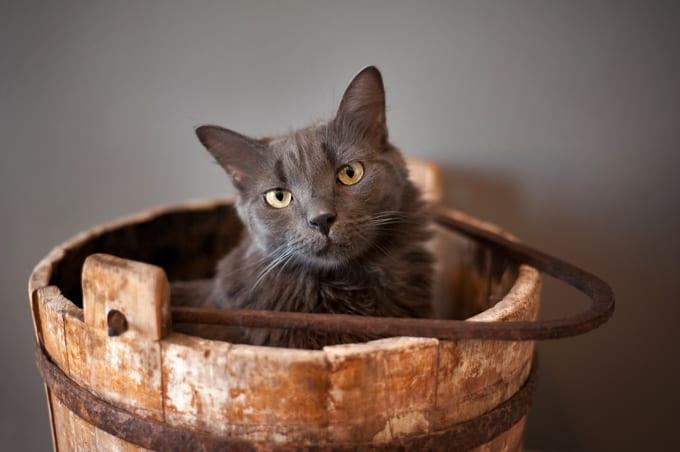 El nebelung es un gato muy dulce