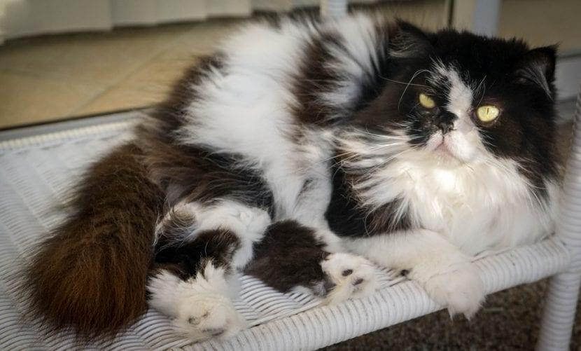 Gato persa himalayo adulto
