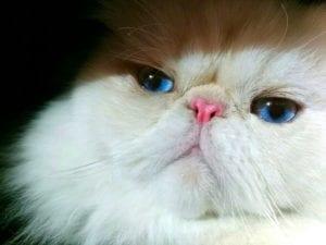 Gato persa himalaya blanco