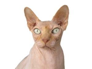 El Sphynx es una raza de gato