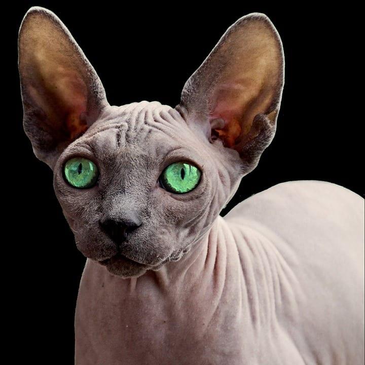 El Sphynx es una raza de gato muy peculiar