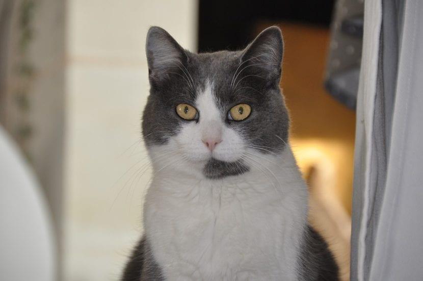 El gato adulto puede tener canas