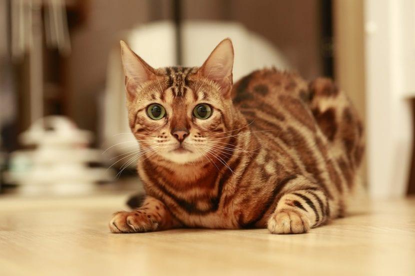 Vista de un gato de bengala joven