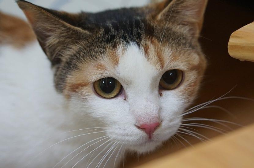La diabetes es una enfermedad que hace que el gato esté triste