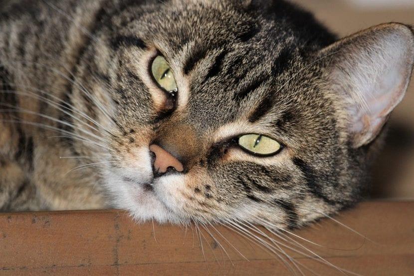 Los gatos atigrados son cariñosos
