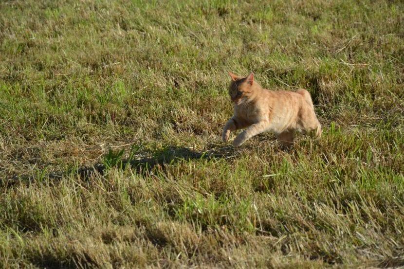 Los gatos pueden alcanzar los 35km/h