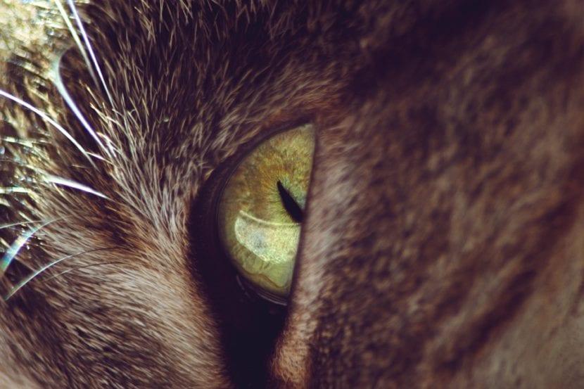 Gato adulto con ojos verdes