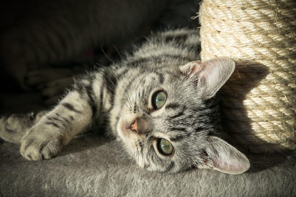 Los gatos pueden tener zonas calvas