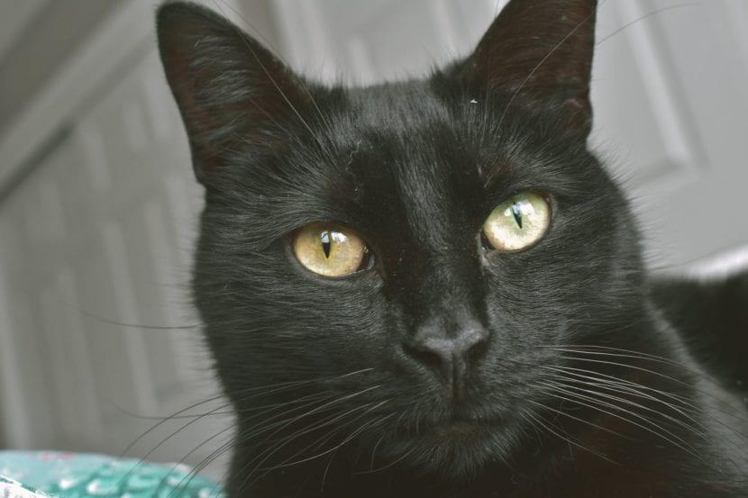 Gato común negro