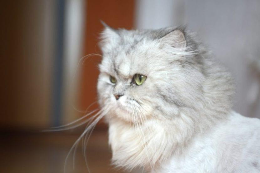 El gato persa es tranquilo