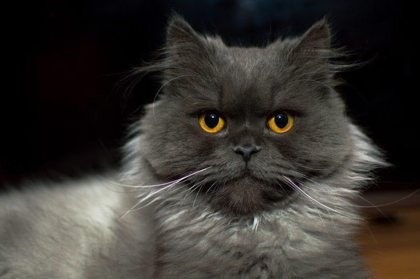 Hay gatos que no maúllan