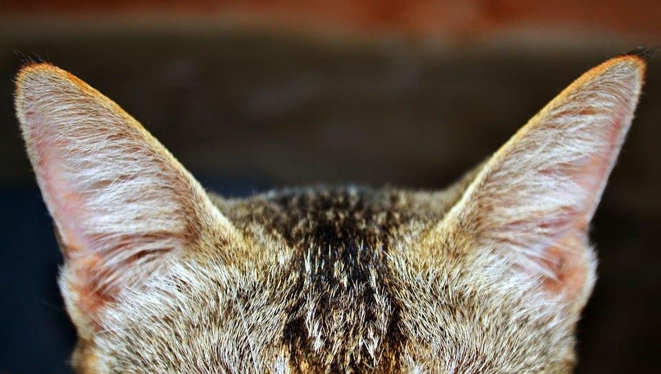 Las orejas del gato son muy sensibles