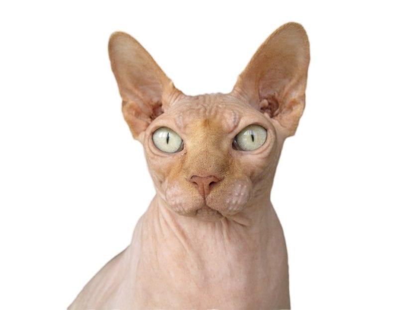 El gato esfinge no tiene casi pelo