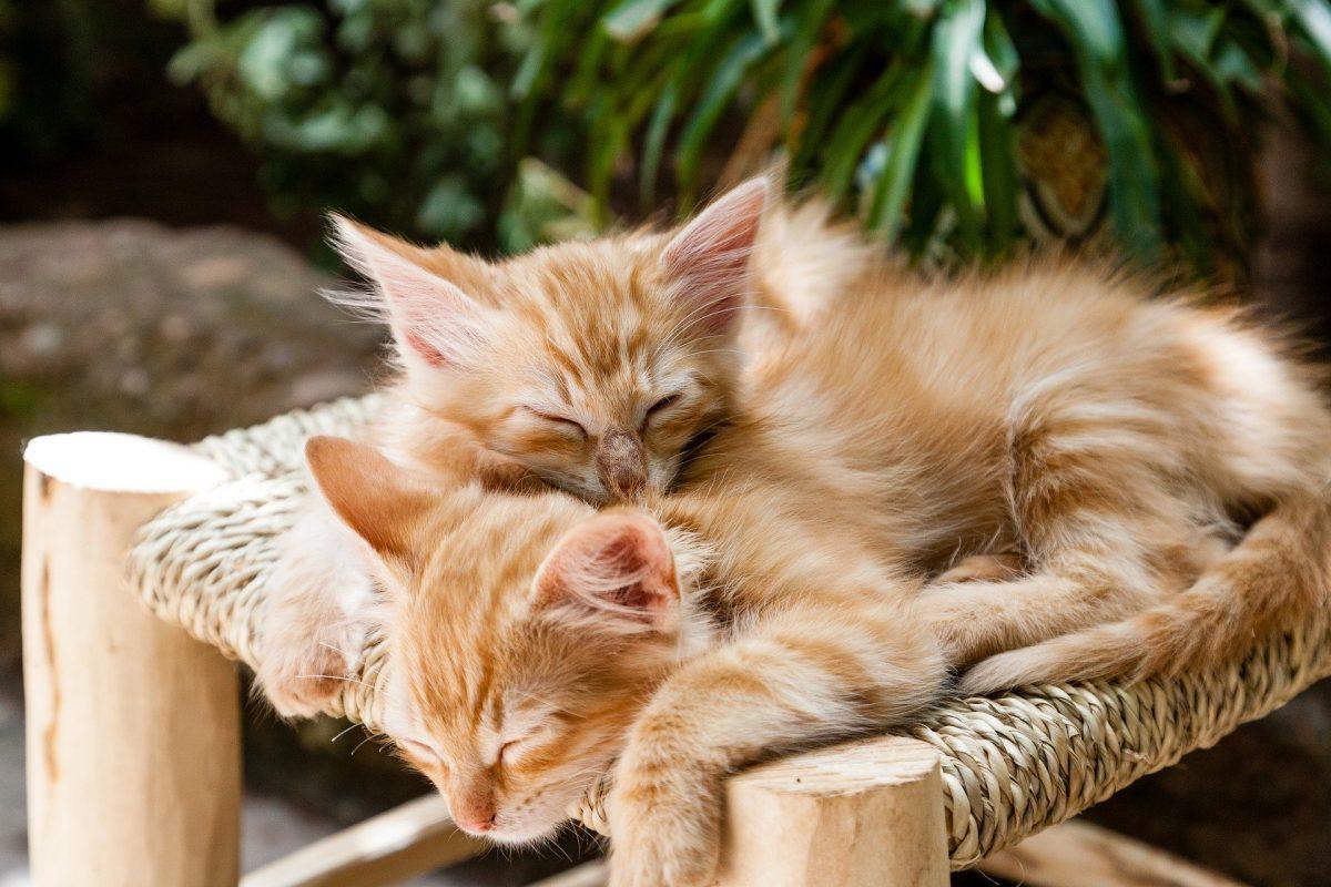 Gatos echados después de comer pienso