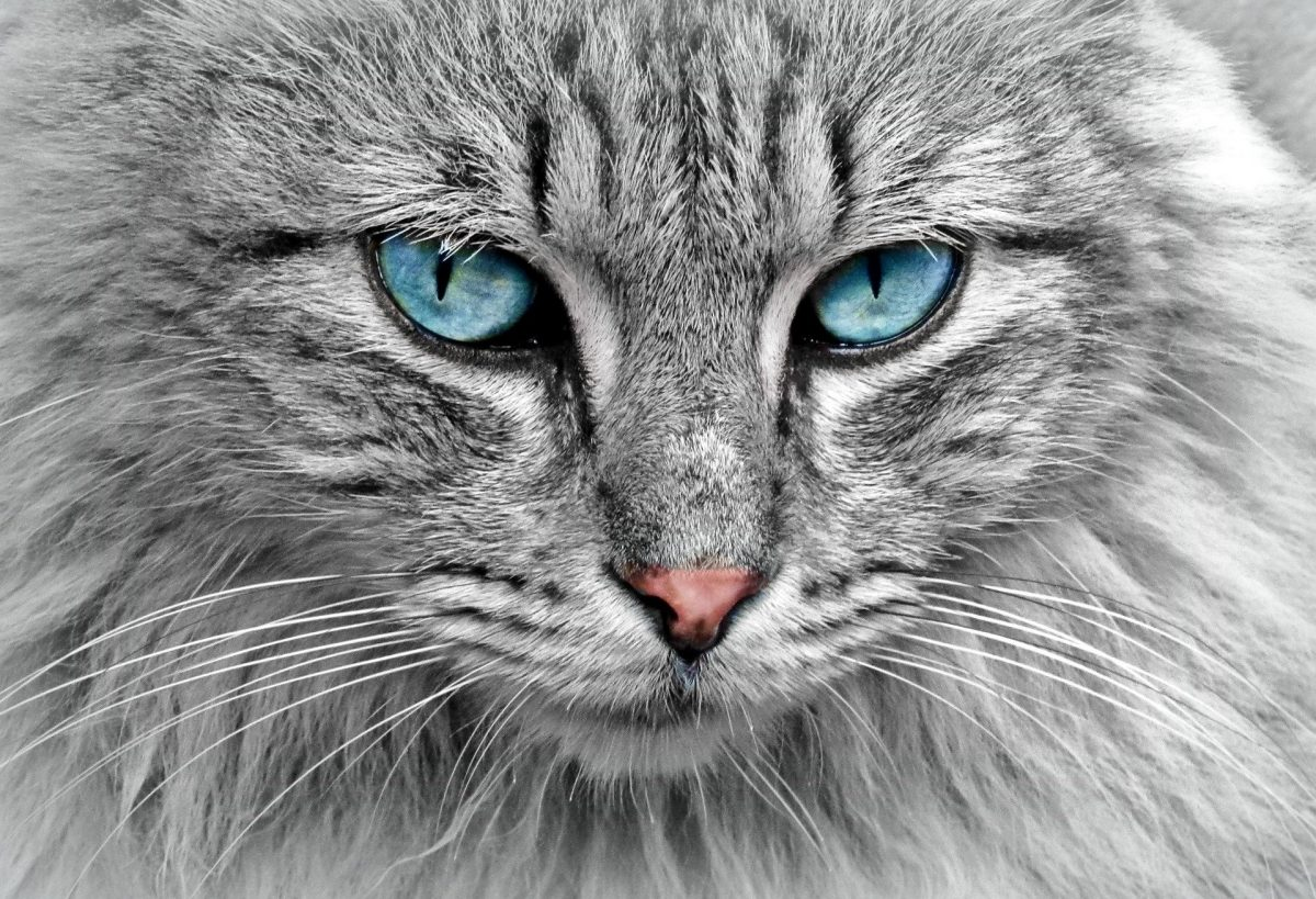 Cómo acostumbrar a un gato a comer pienso